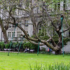 Propped up tree in Whitehall Gardens, Embankment at Charing Cross