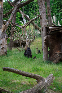 Gorilla and Babies At The London Zoo