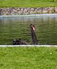 6036-chartwell Black Swan