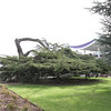 The Loughborough University Tree, Cedar of Lebanon at Loughborough University
