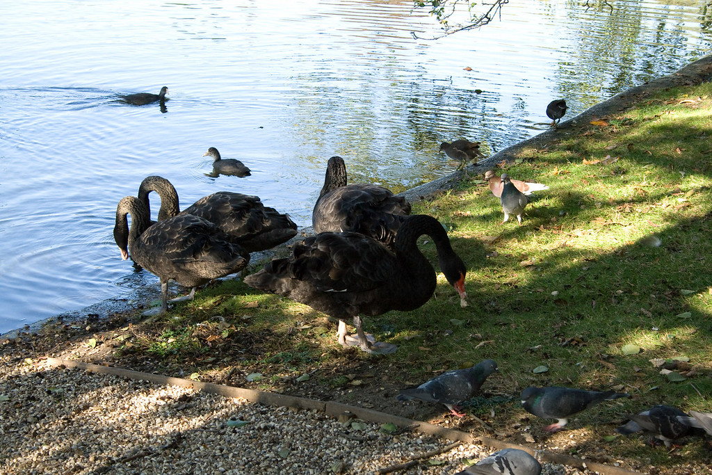 The famous black swans in St. James