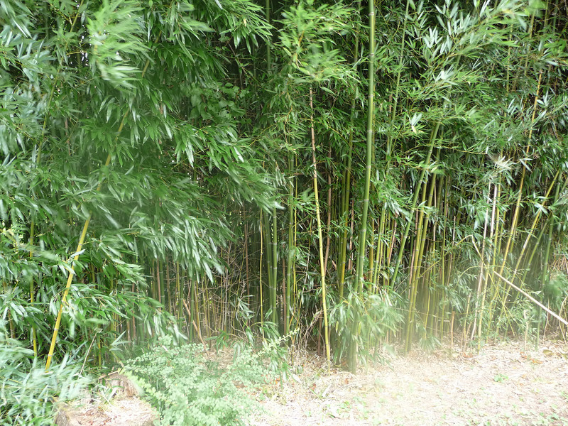 Bamboo in Woods Hole