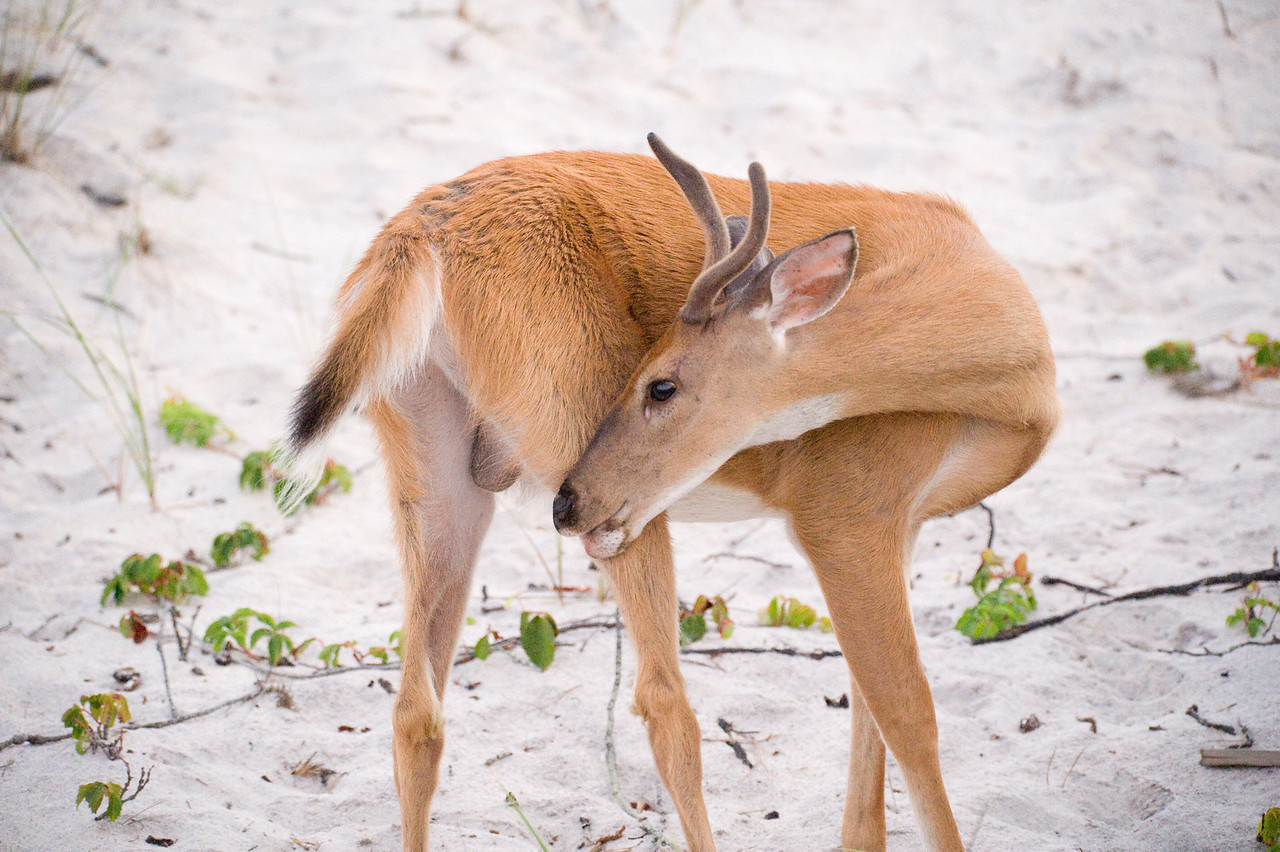Deer at Fire Island