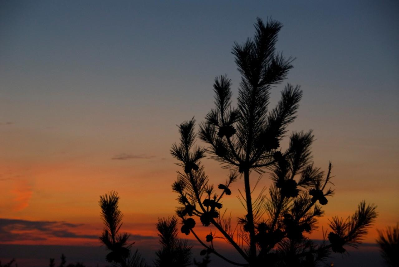 Dwarf pine on the dunes.