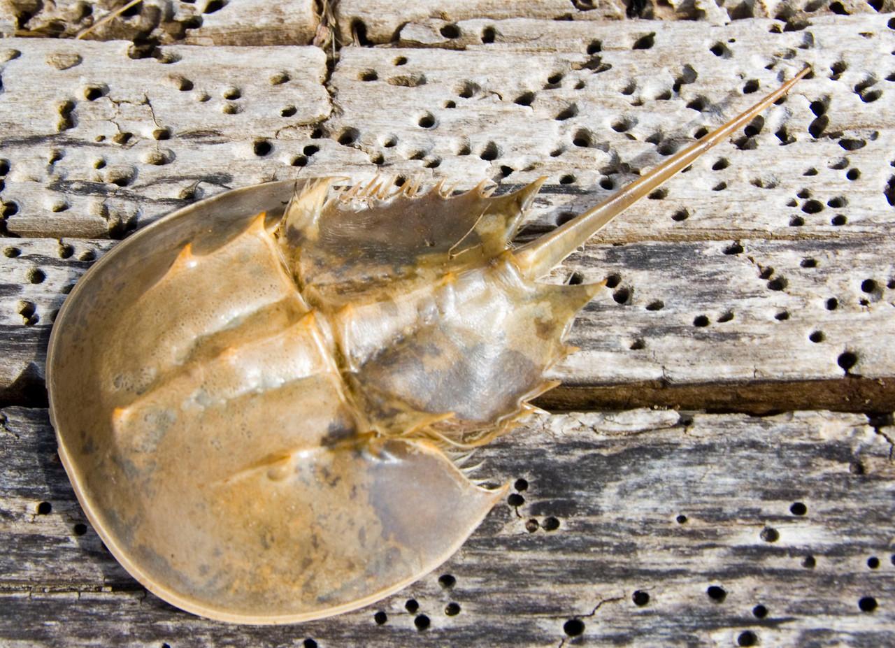 Horseshoe crab, Montauk