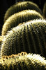 Cactus <br /> Huntington Library, Pasadena, California<br /> photo by CCI