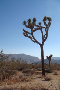 Joshua tree in Joshua Tree National Park