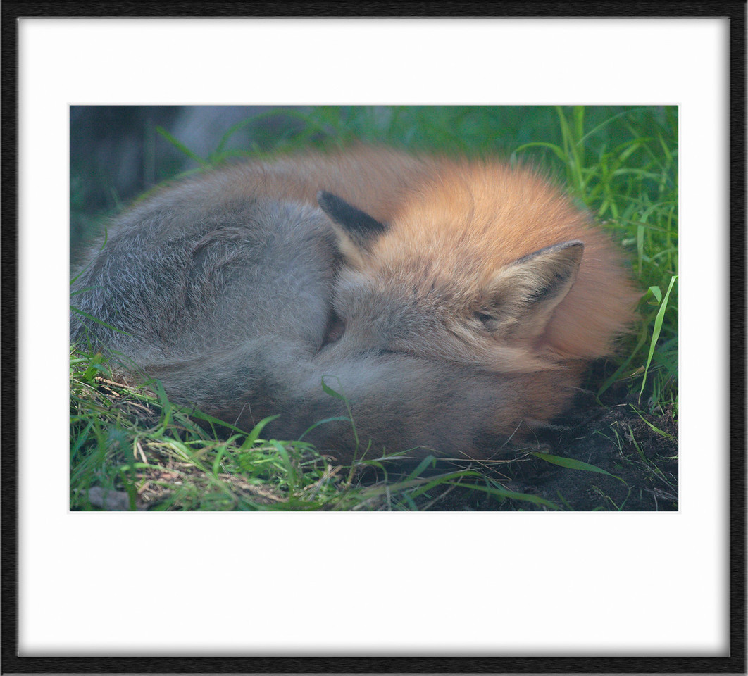 This fox was laying near the bobcat habitat asleep, the cage he was in didn't quite phase out lending this shot an almost painterly feeling of soft light. Cute fellow too.
