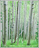 Aspen trunks in a forest near Lost Lake in Colorado