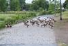 Geese near Lott Dam in Belleville