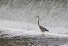 Heron in front of the Lott Dam.
