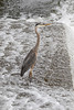 Heron in the shallow water of the Moira.