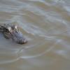 Baby gator