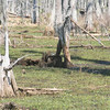 Nutria camouflaged in tree stump