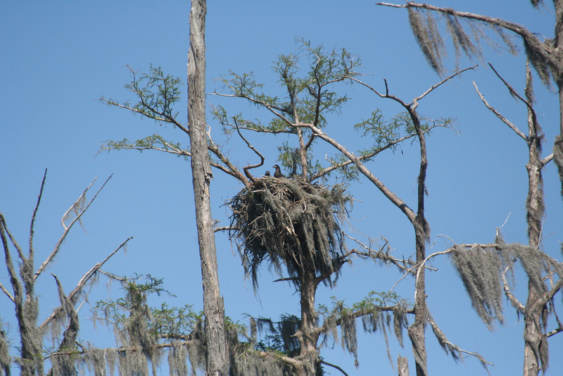 Nest with fledgling bald eagles
