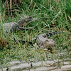 Alligators - abine National Refuge, Cameron Parish, LA  3-7-00