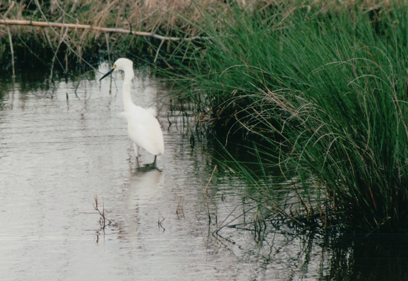 Snowy Egret - Sabine National Refuge, Cameron Parish, LA  3-7-00<br /> Identified apart from the similar Great Egret which has a yellow bill and is a larger bird.