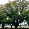 Live Oaks and Spanish Moss - Sabine National Refuge, Cameron Parish, LA  3-7-00<br /> This refuge established in 1937 is the largest coastal marsh refuge on the Gulf.