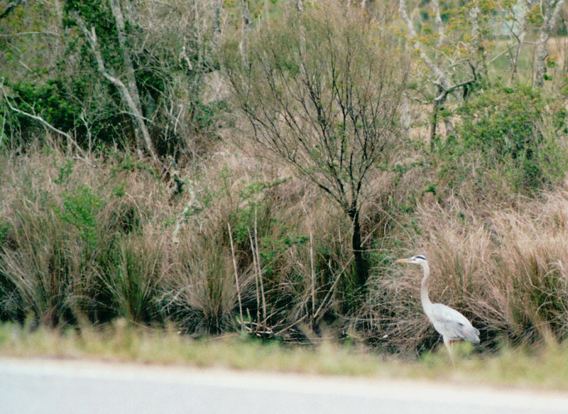 Great Blue Heron - Sabine National Refuge, Cameron Parish, LA  3-7-00