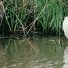 Snowy Egret - Sabine National Refuge, Cameron Parish, LA  3-7-00
