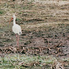 White Ibis - Sabine National Refuge, Cameron Parish, LA  3-7-00