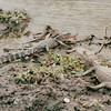 Alligators - Sabine National Refuge, Cameron Parish, LA  3-7-00