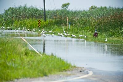 Shore birds on flooded Rt. 23, Venice LA.