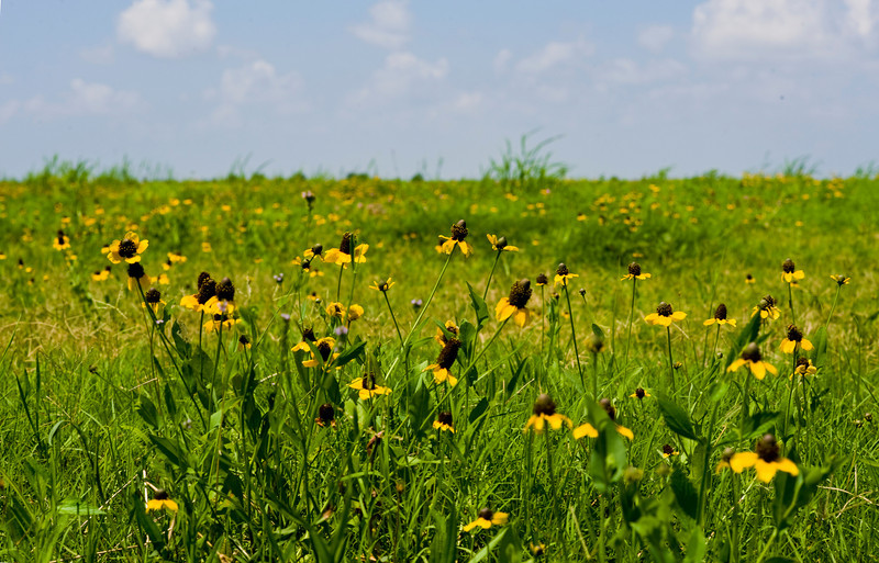 Clasping coneflower meadow, Plaquemines Parish