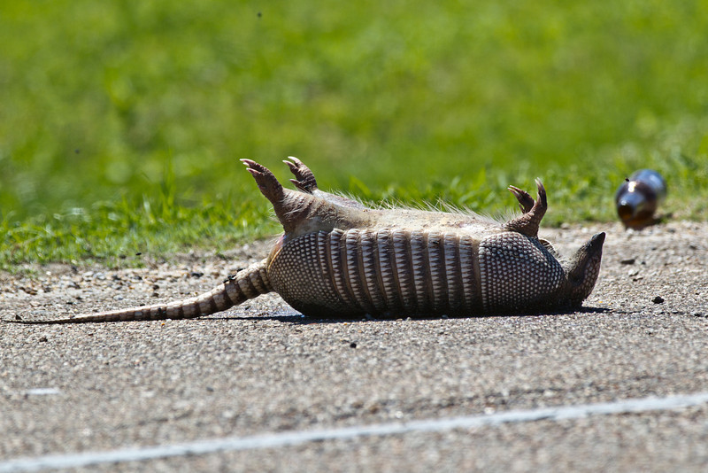 Normal siting alongside the highway.  One dead armadillo and one empty bottle of Bud.