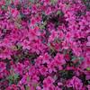 Azaleas in bloom near the tennis center at Palmetto Dunes