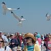 Gulls descending on the race crowd