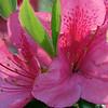 Single azalea bloom