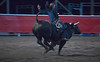 Bull rider (a temporary position)