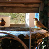 A pair of American Robins.