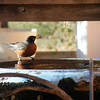 An American Robin (Turdus migratorius). This lovely male came for a drink under a lean-to shelter.