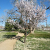 One of the few trees in blossom in mid March.