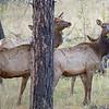 Elk west of Luna, NM