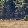 Elk grazing beyond far side of Luna Lake, AZ