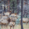 Elk west of Luna, NM