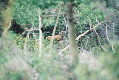 8/16/04 Mule Deer. Behind cabins at Lundy Canyon Resort