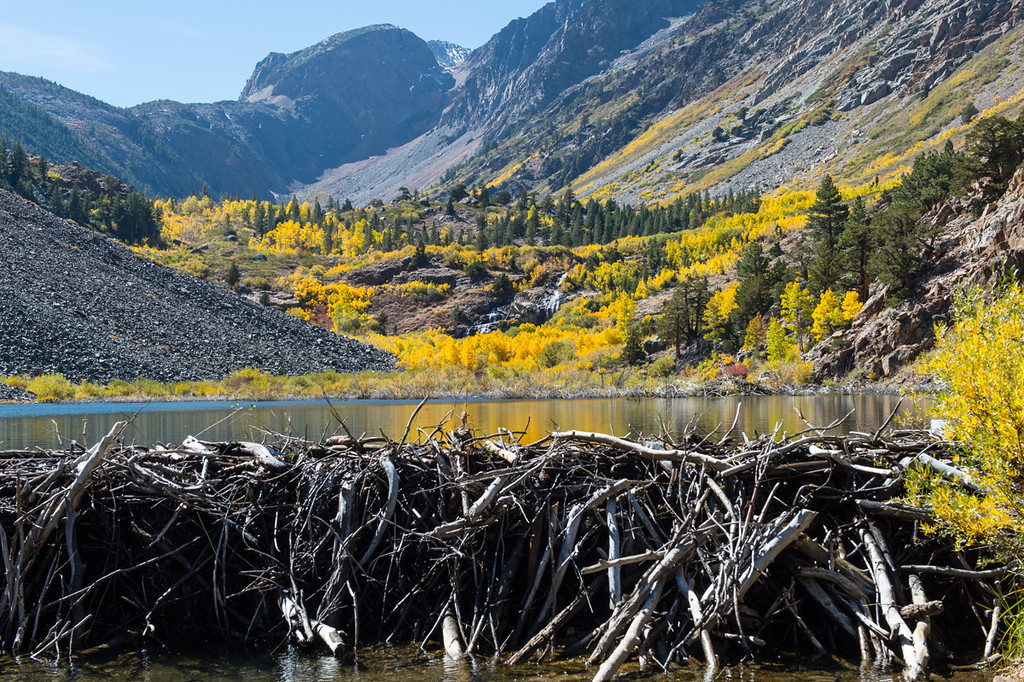 Lundy has some of the largest beaver dams in the west. Really amazing work!