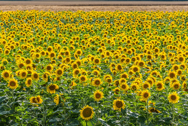Occasionally, a bright burst of sunflowers cuts a wide yellow swathe across the countryside