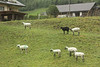 Sheep.  They are marked so as to be more easily identifiable.  There is a black sheep.  Poor black sheep :(.