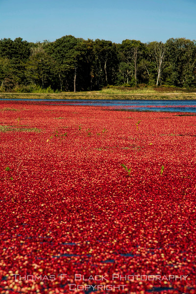 this and frame following, cranberry bog being harvested, yarmouth.