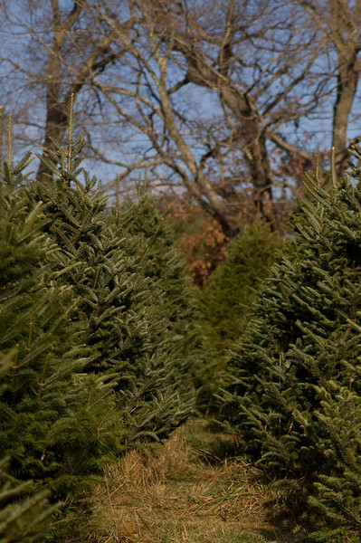 Oakholm Farm in Brookfield, MA is the place to get your Christmas tree!  They've got several varieties of trees to pick from.  You can go pick your own live tree a month or two ahead, and cut it down when you're ready for it.