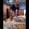 sheer sheep