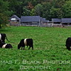 """Belteds (a.k.a. Belties) masticating merrily in impossibly lush pasture at Aldermere, which offers resident livestock an all-you-can-eat, totally organic diet. The grass """"entree"""" is supplemented with a seemingly endless supply of hay.  [UFP092612]"""