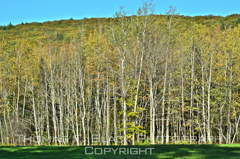 Birches, standing in front of hills, bathed in glow of direct afternoon sunlight, outside Camden. [UFP101212]
