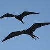 Frigate birds.