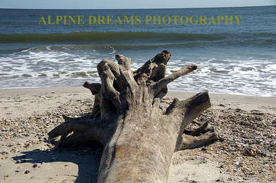 Called TRUNK ON THE BEACH this driftwood was one of many that had washed ashore in recent storms and high tides. They all have a lot of character.